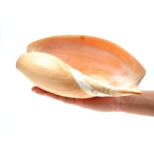 Melon Cymbium 22cm