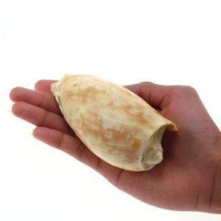 Melon Cymbium 10cm