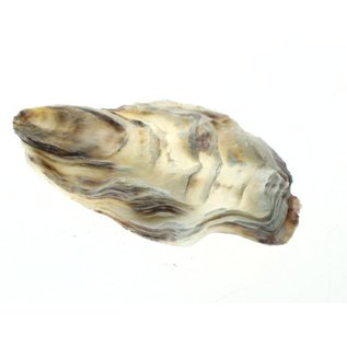 Assorted Flat Oyster Shell Half 7-10cm