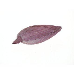 Purple Pecton Nobilus 4-8cm