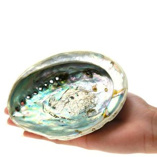 Small Opal Abalone 13cm