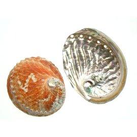Pink Abalone 12cm