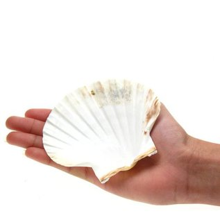 Small Deep Scallops with ground edges 8cm. Set of 4,