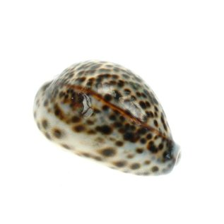 Small Tiger Cowries 4cm