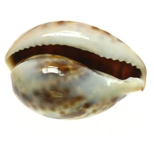 Thin Baby Tiger Cowries 4cm