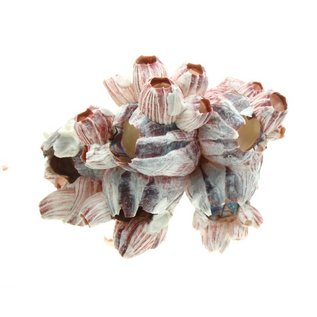 Medium Barnacles 13-17cm Class 1
