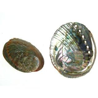 Blue Abalone 13cm