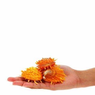 Orange Spondylus