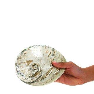 Polished Opal Abalone 17cm
