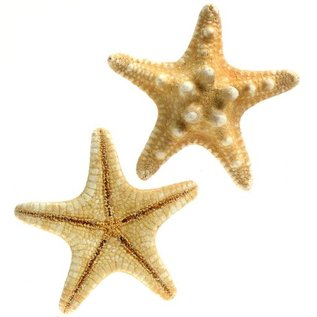 Thorney Starfish 2.5cm