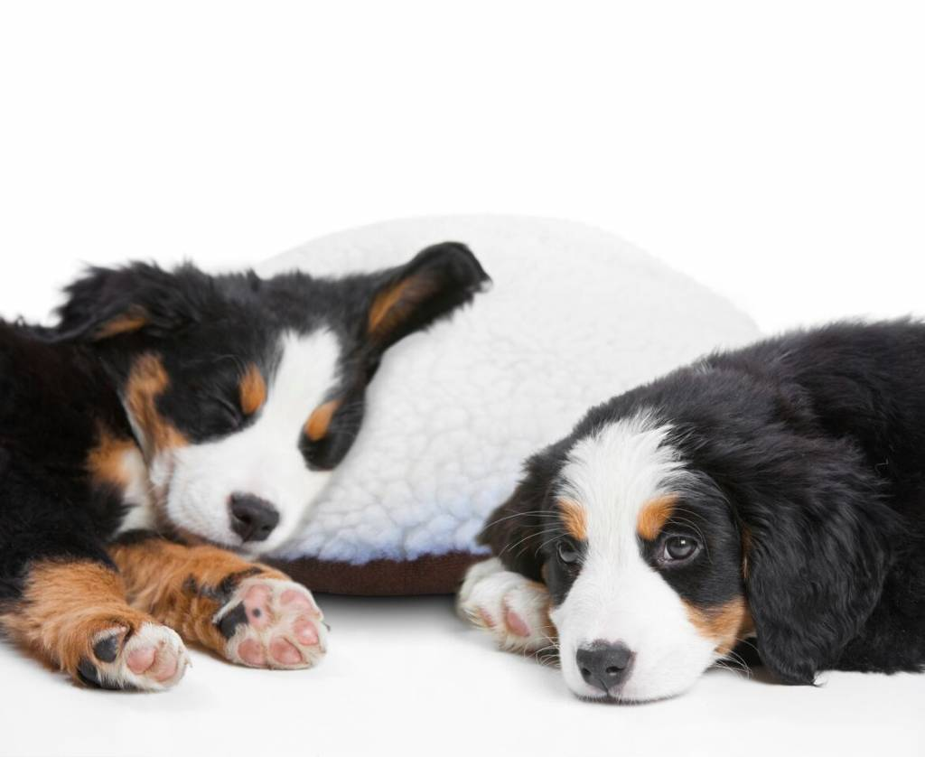 Wakker worden van een piepende pup?