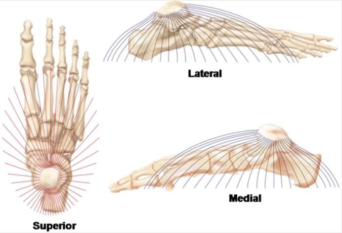 intrinsieke voetspieren