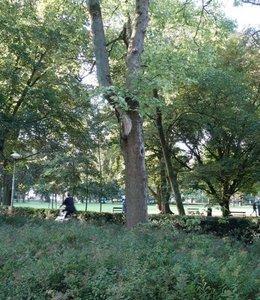 Esdoorn, Utrecht (Wilhelminapark)