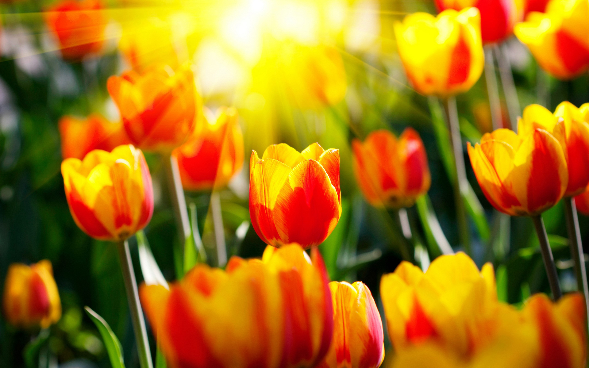 Met tulpen haal je de lente in huis - herfst tulpen