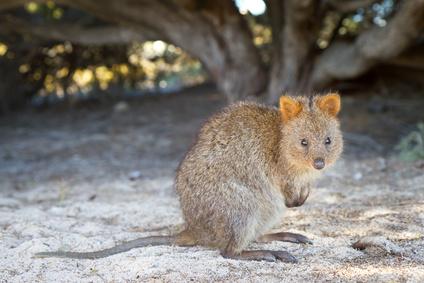 Quokka Kangoroo Australia