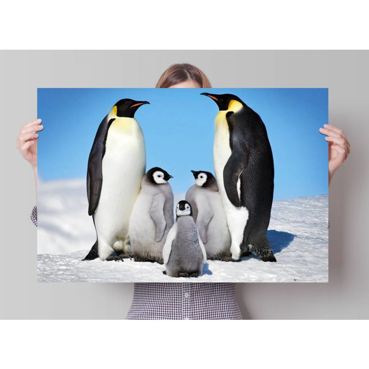 Pinguins  - Poster 91.5 x 61 cm