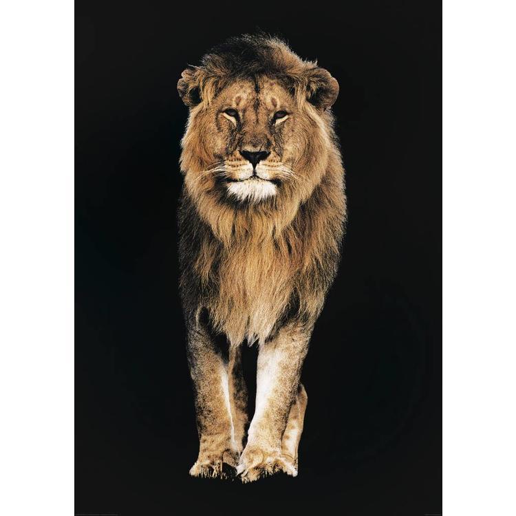 Leeuw  - Poster 100 x 140 cm