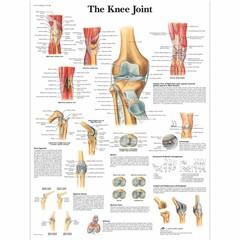 3B Scientific Poster Kniegewricht