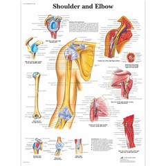 3B Scientific Poster Shoulder and Elbow