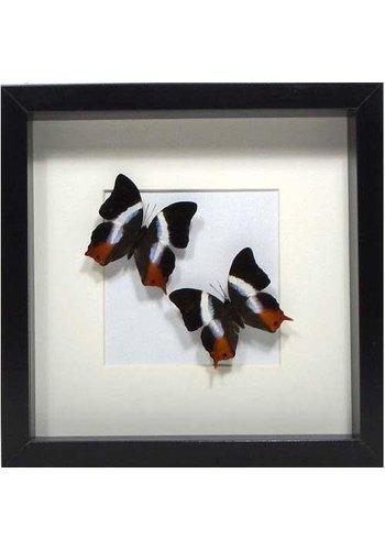 Les Soeurs Butterfly Frame