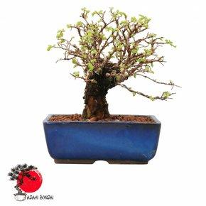 Japanische Korkulme - Ulmus Corticosa 23cm