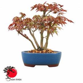 Fächerahorn - Acer Palmatum  23cm