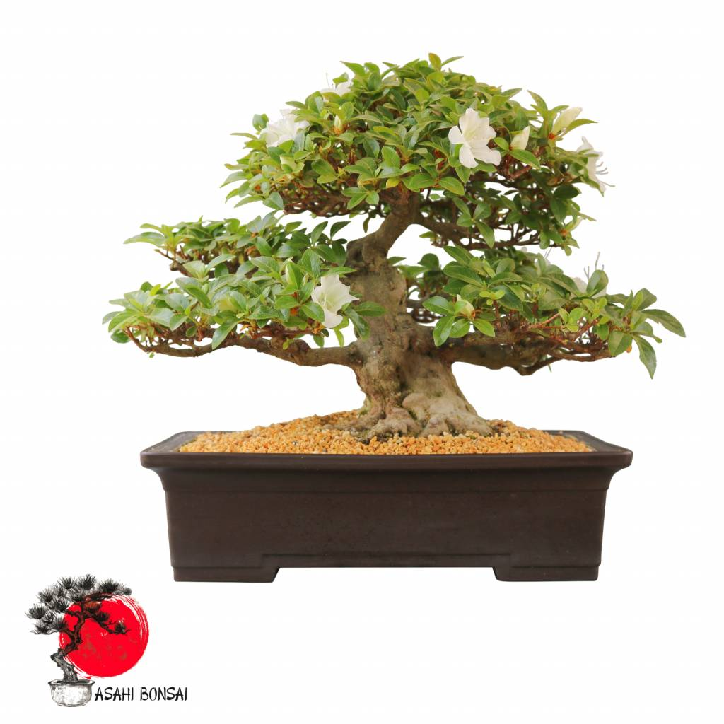 Satzuki Azalee - Rhododendron Indicum  43cm