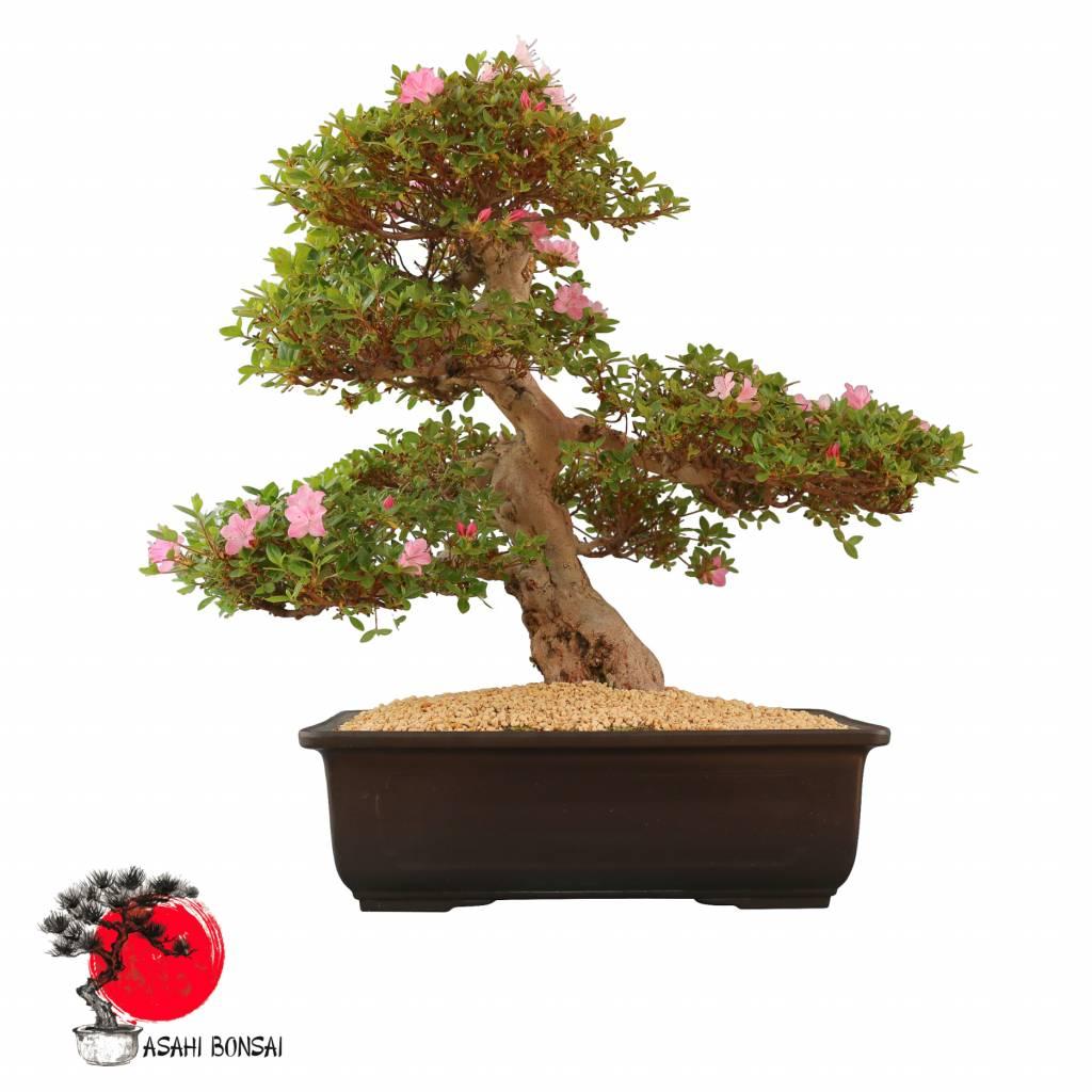 Satzuki Azalee - Rhododendron Indicum  63cm