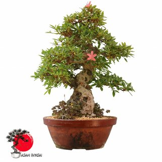 Satzuki Azalee - Rhododendron Indicum  60cm
