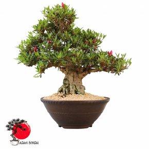 Satzuki Azalee - Rhododendron Indicum  45cm
