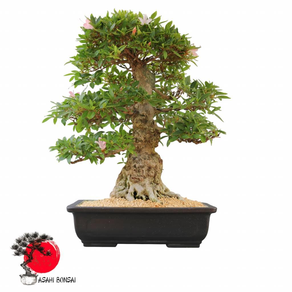 Satzuki Azalee - Rhododendron Indicum  53cm