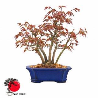 Fächerahorn - Acer Palmatum  27cm