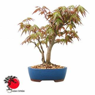 Fächerahorn - Acer Palmatum  28cm