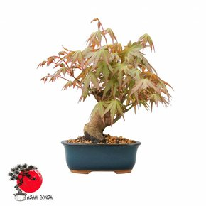 Fächerahorn - Acer Palmatum 20cm