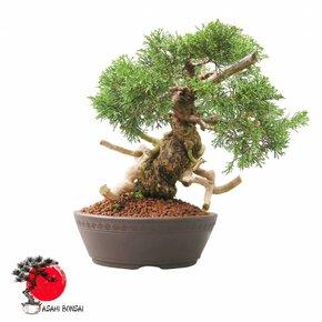 Chinesischer Wacholder - Juniperus Chinensis Itoigawa 34cm