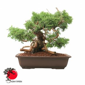 Chinesischer Wacholder - Juniperus Chinensis Itoigawa 33cm