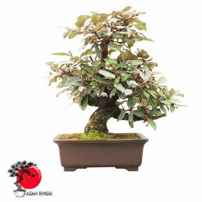 Ölweide - Elaeagnus angustifolia 45cm