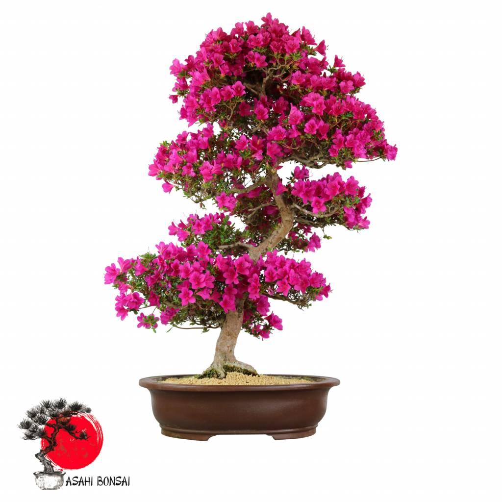 Satzuki Azalee - Rhododendron Indicum  90cm