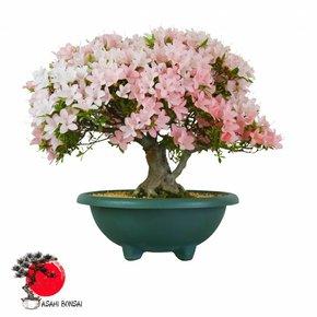 Satzuki Azalee - Rhododendron Indicum  47cm