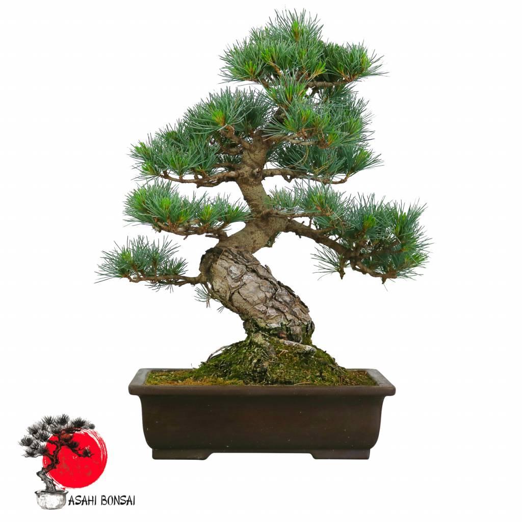 Mädchenkiefer - Pinus Pentaphylla  50cm