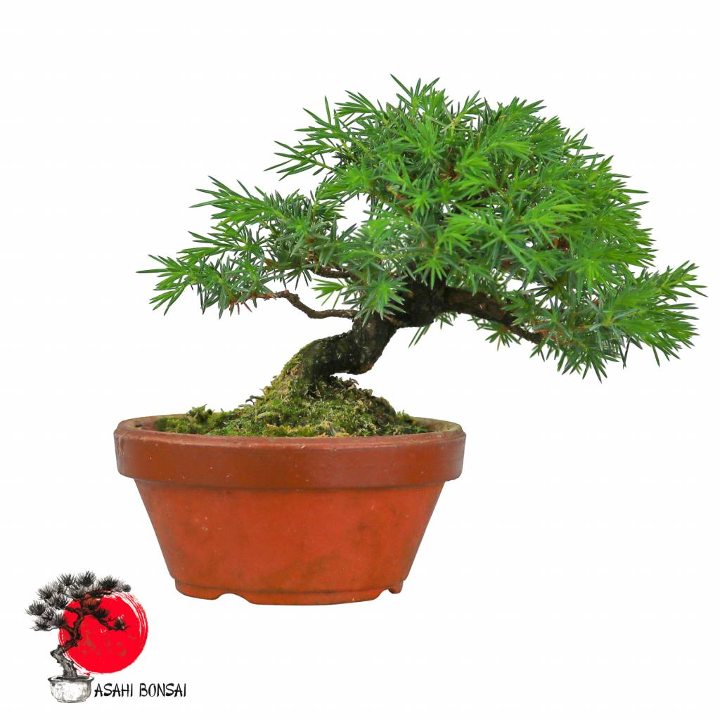 Gemeiner Wacholder - Juniperus Communis 17cm