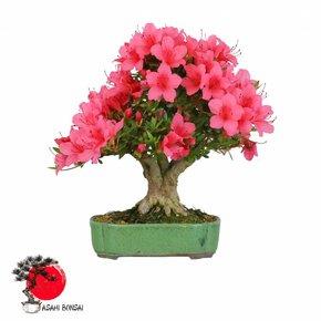 Satzuki Azalee - Rhododendron Indicum  34cm