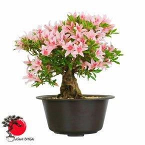 Satzuki Azalee - Rhododendron Indicum 36cm