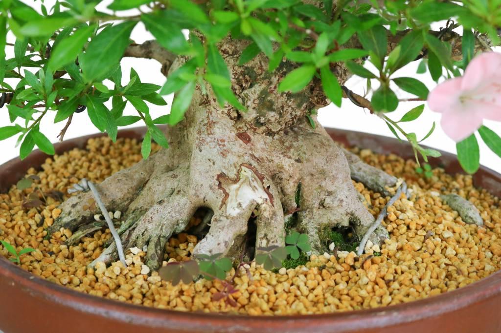 Satzuki Azalee - Rhododendron Indicum 49cm