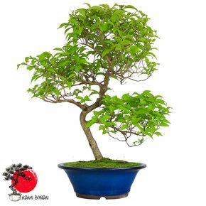 Liebesperlenstrauch - Callicarpa Japonica 70cm