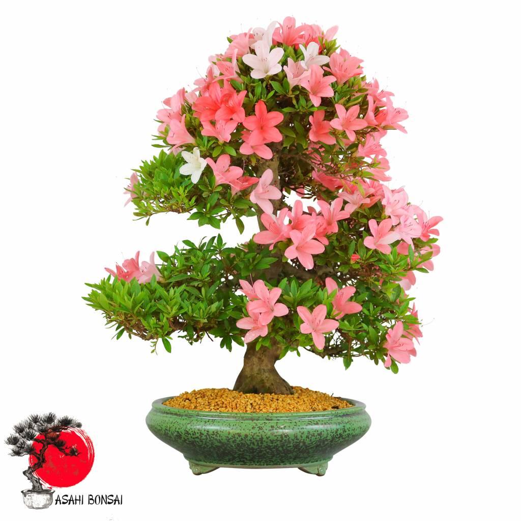 Satzuki Azalee - Rhododendron Indicum 55cm