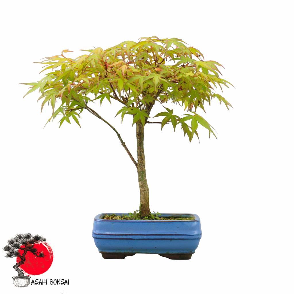 Einsteiger-Set Fächerahorn - Acer Palmatum Katsura 20cm