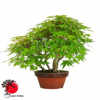 Fächerahorn - Acer Palmatum 40cm