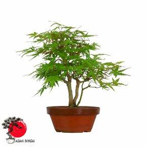 Fächerahorn - Acer Palmatum 30cm