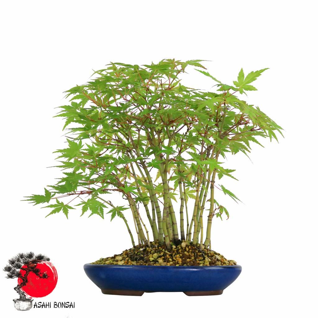 Fächerahorn - Acer Palmatum 33cm